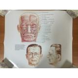 РАСПРОДАЖА! Постер Анатомия. Мимические мышцы